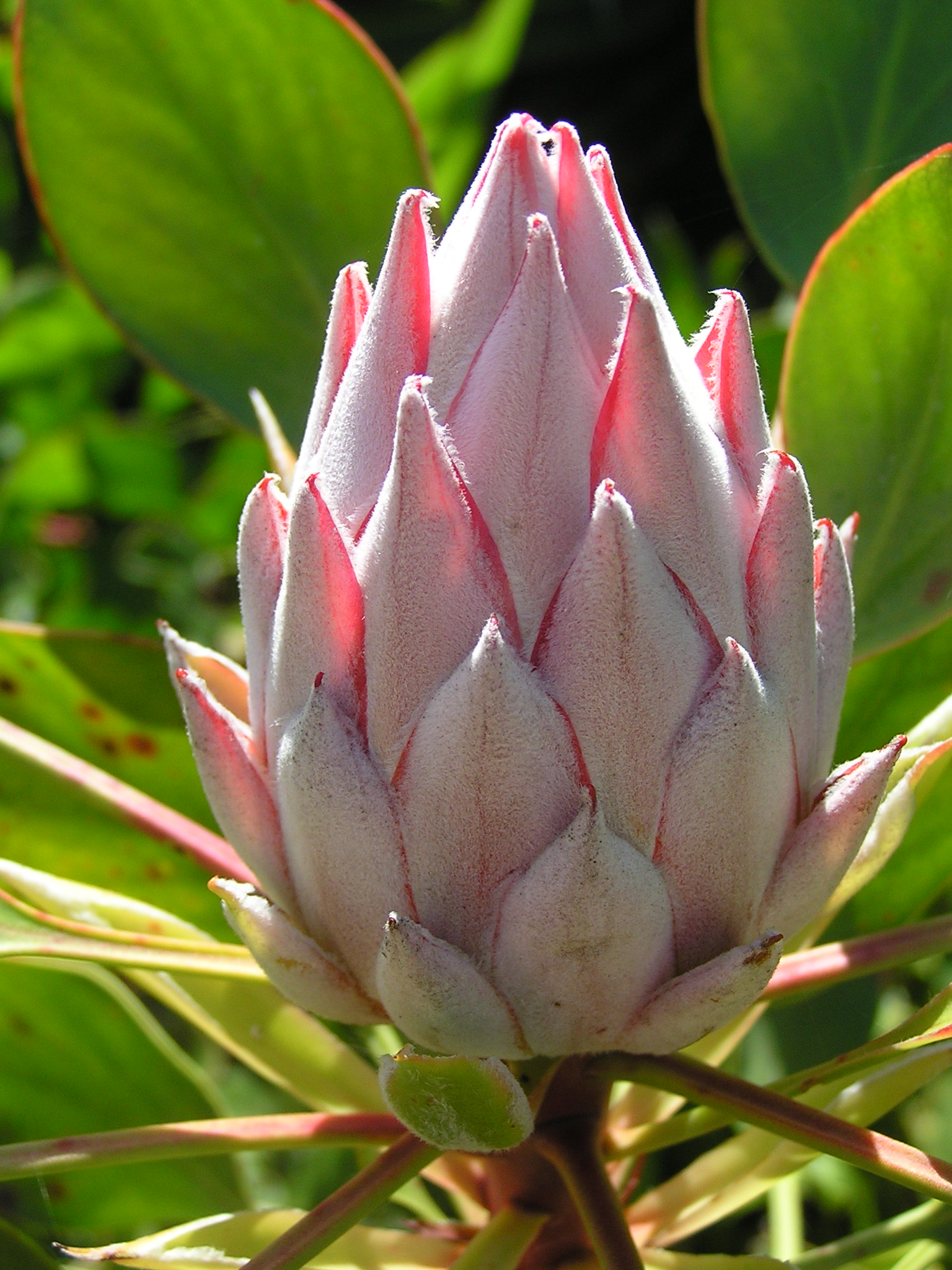 King Protea flower, La Gomera