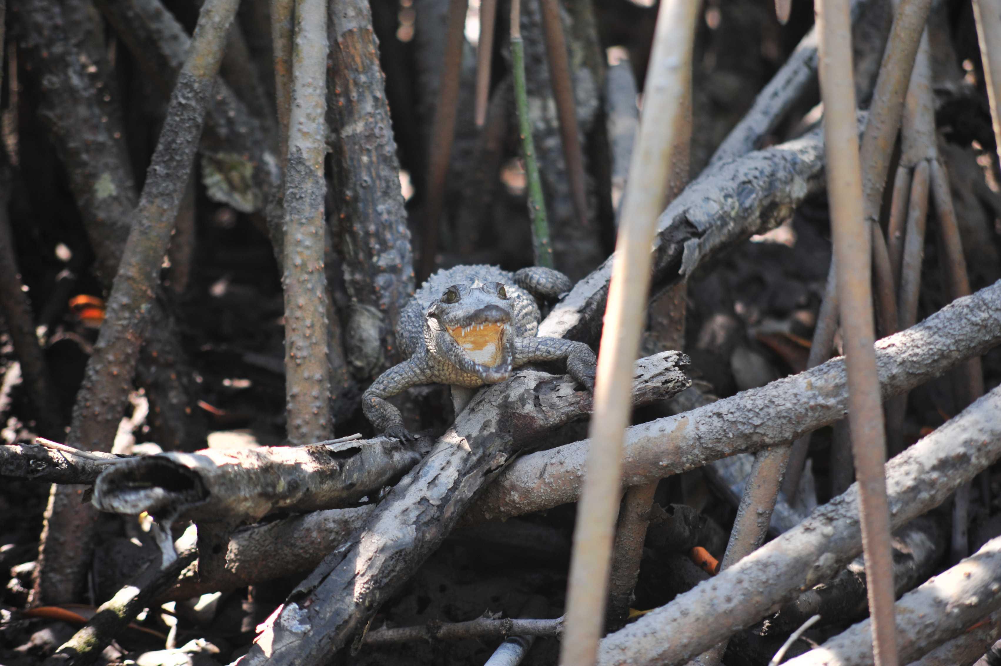 Small crocodile in Estero el Salado, Puerto Vallarta