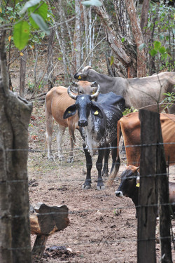 Cows, Sierra Madre mountains