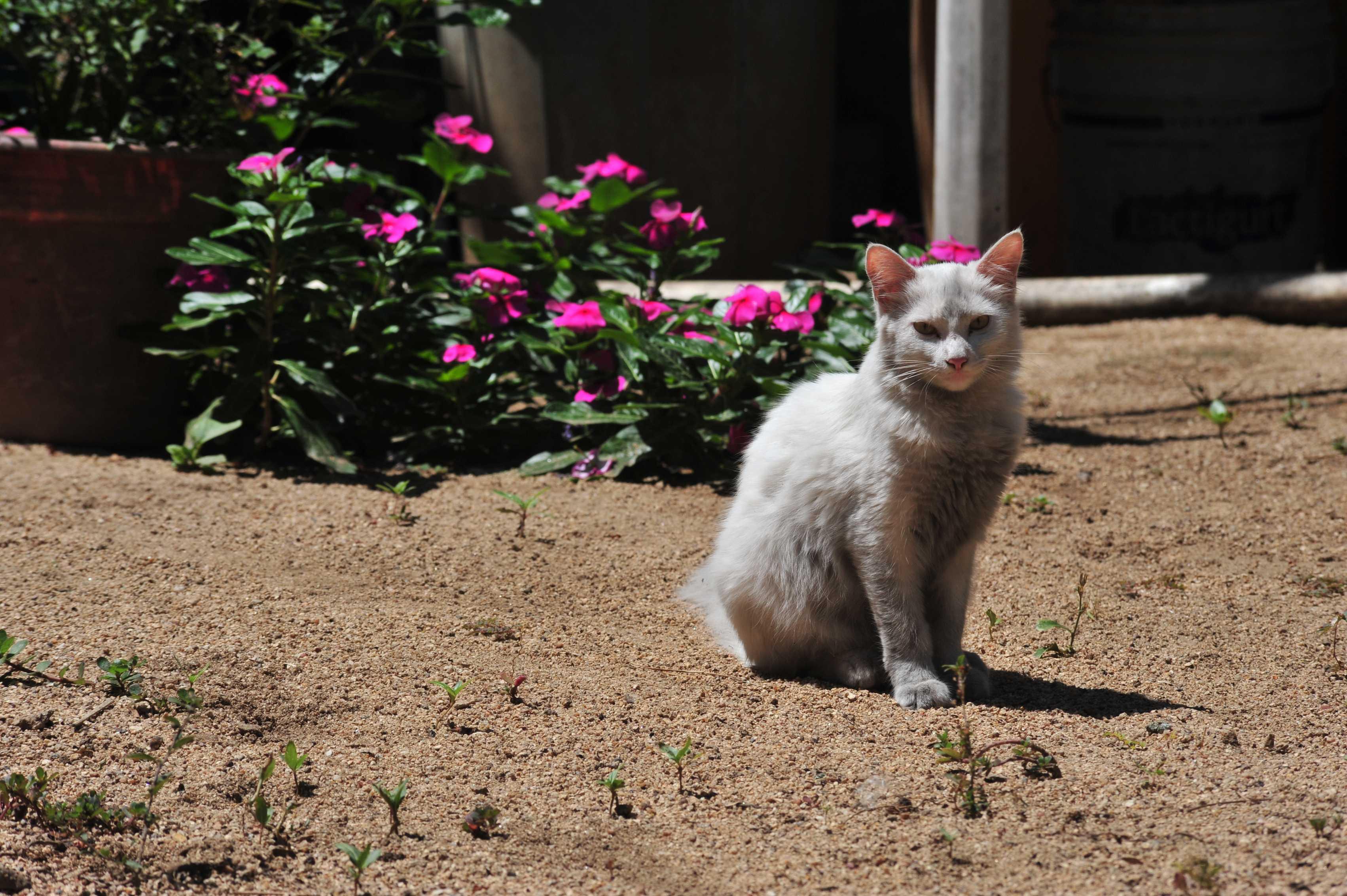 Local cat in Quimixto