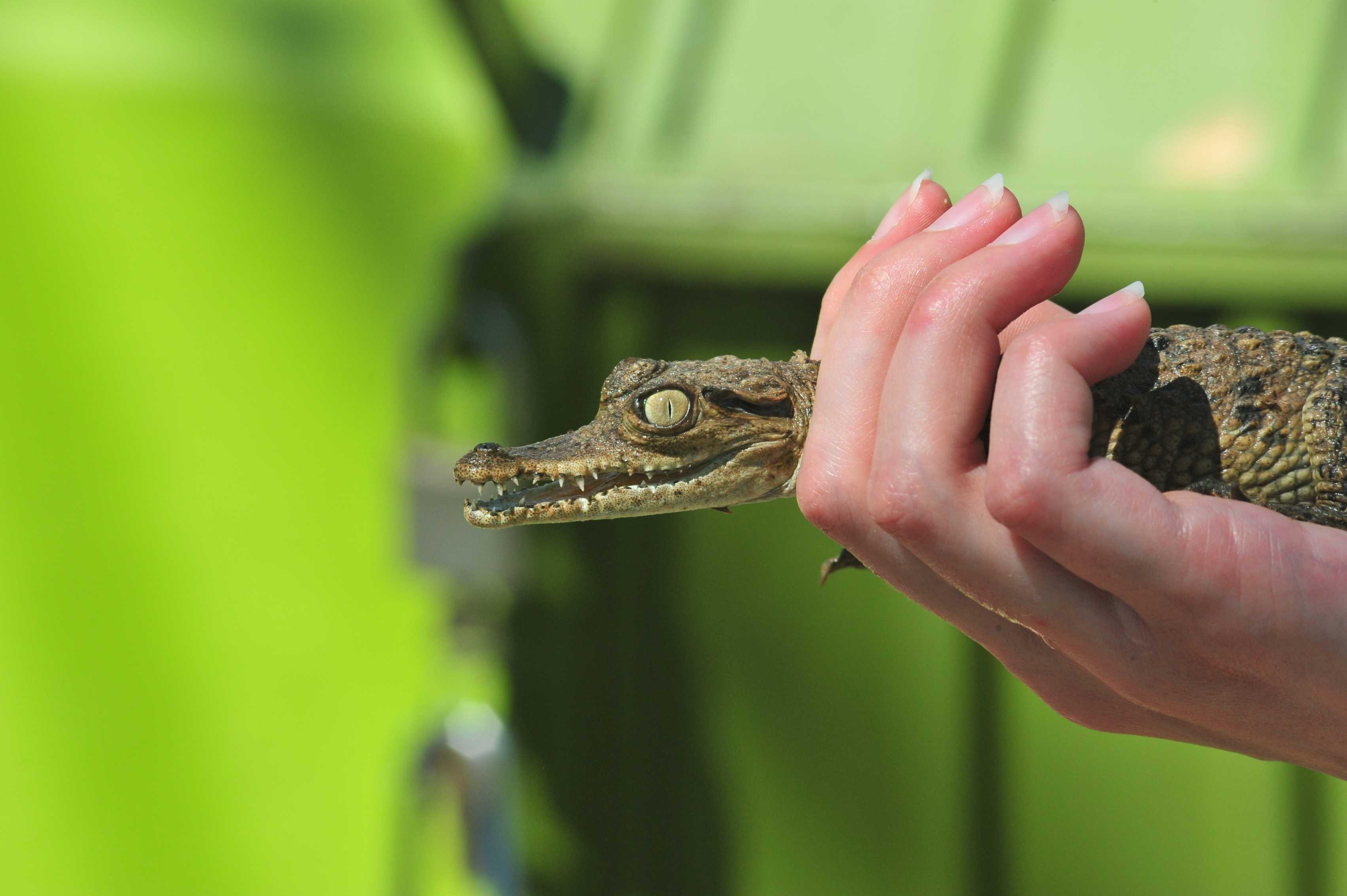 Holding a baby crocodile in Estero el Salado, Puerto Vallarta