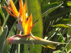 Paradise bird flower, La Gomera