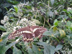 Butterfly at Naturospace, Honfleur