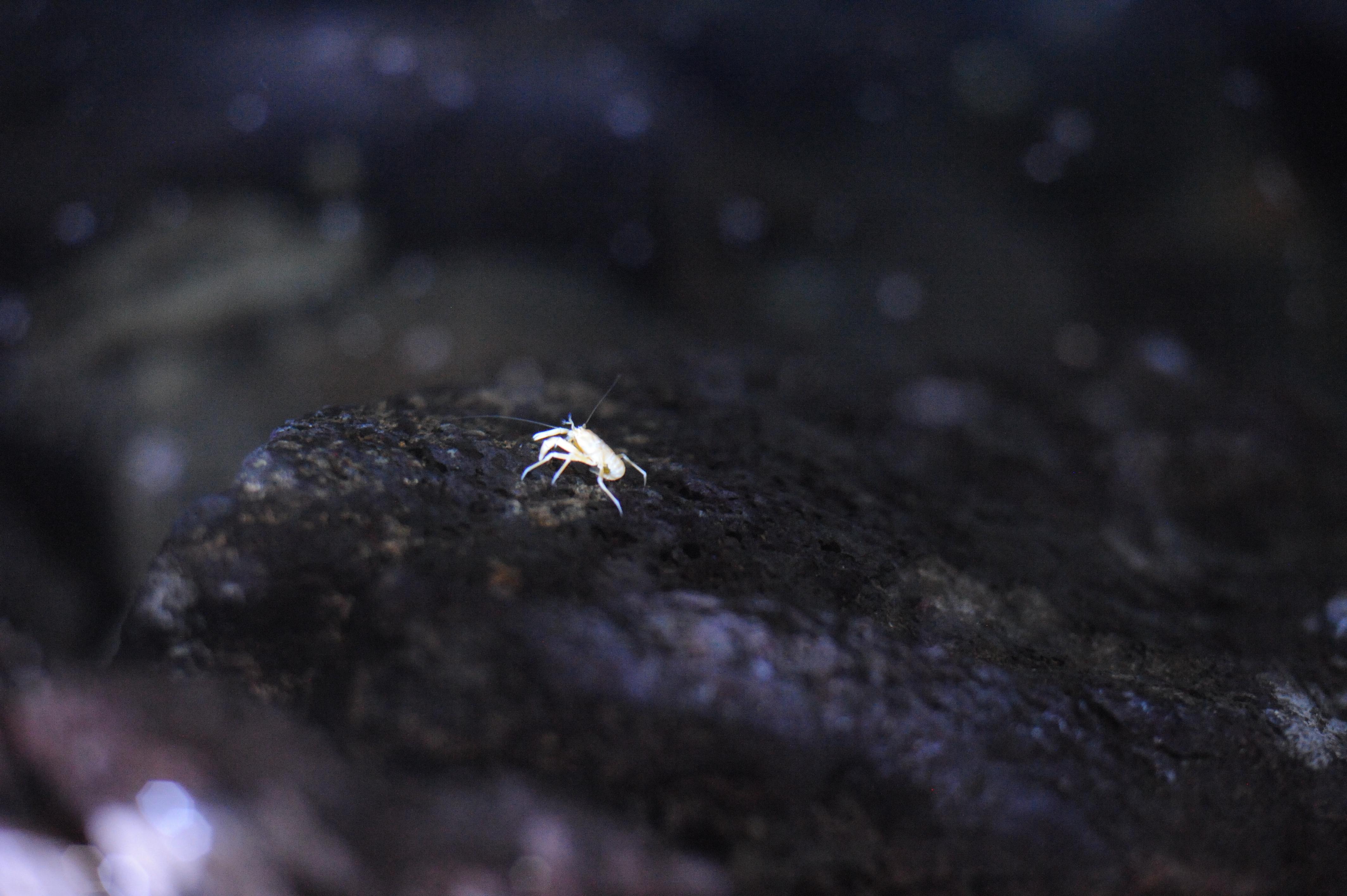 Albino crab at Jameos del Agua