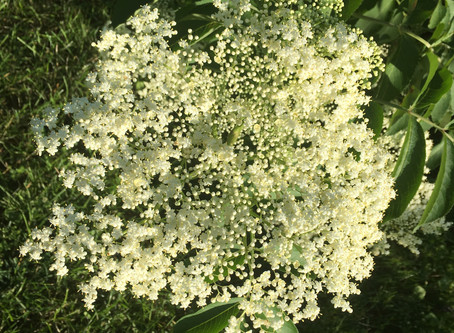 Elderflower ready now