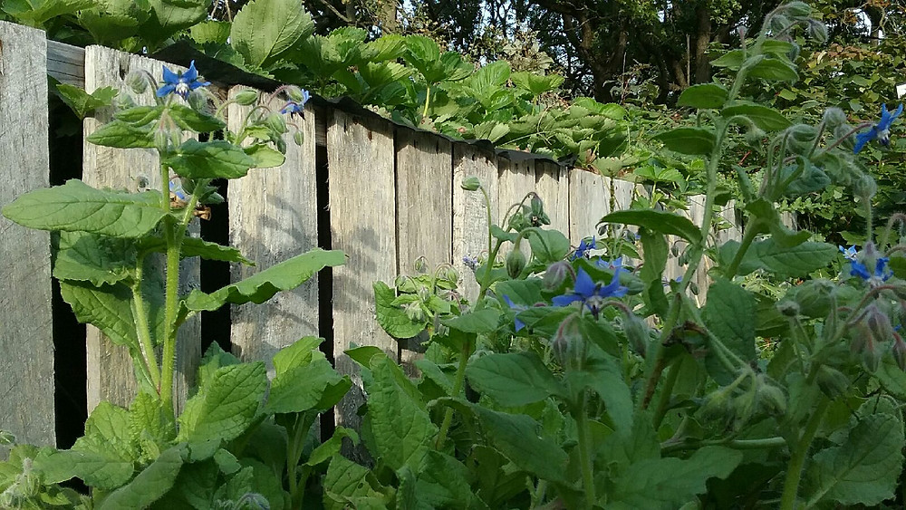 Borage growing along fence at Whispers of Hope Farm