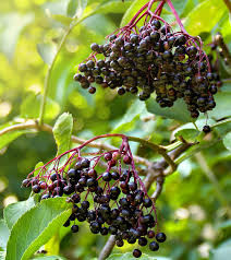 Elderberry Time!