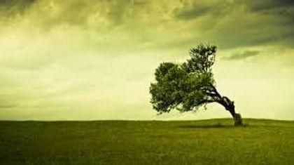 wind stricken tree.jpg