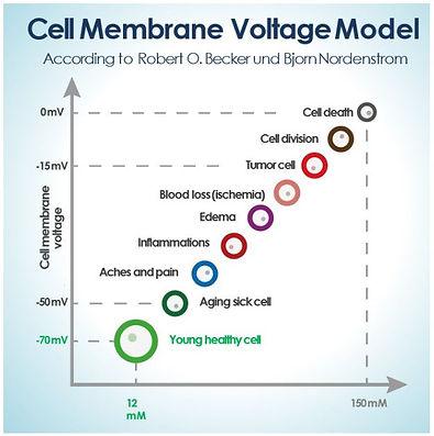 Cell membrane Voltage Model.JPG