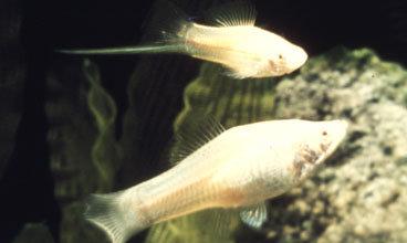 Xiphophorus Helleri White