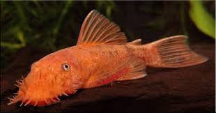 Ancistrus sp.red