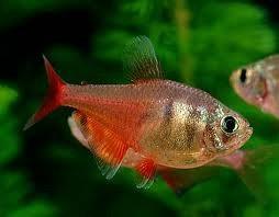 Hyphessobrycon Flameus