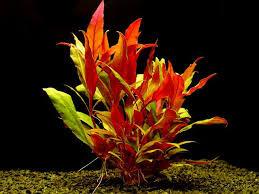 Alternanthera Rosaefolia Mini