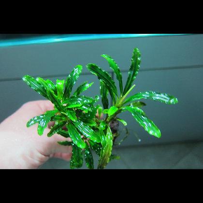 Bucephalandra Green Velvet