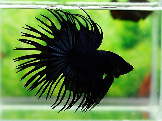 Betta Crowntail black Orchid