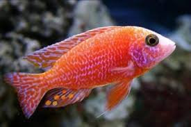 Aulonocara sp.Fire Fish