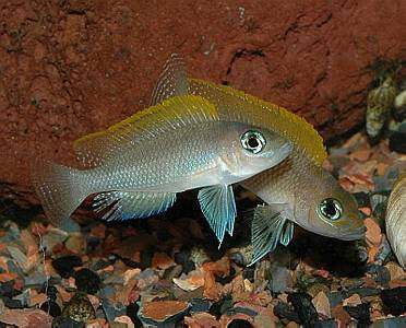 Neolamprologus  Caudopunctatus