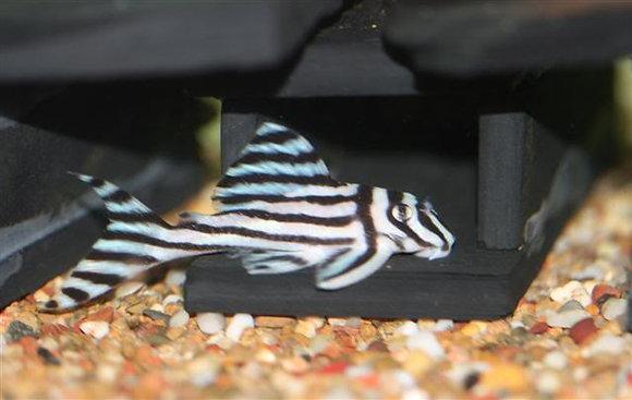 Hypancistrus Zebra L46 ( 5 cm )