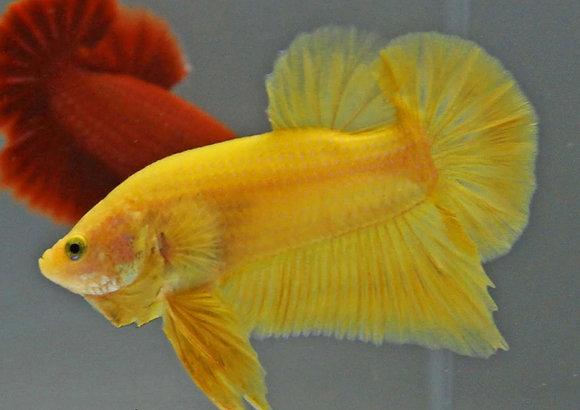 Betta Splendens Fancy ( Yellow )