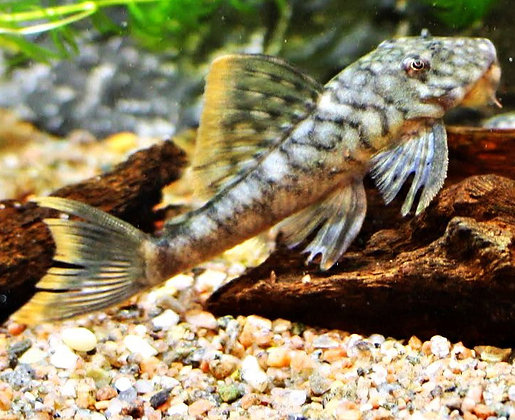 Guyanancistrus Guahiborum L106 F1