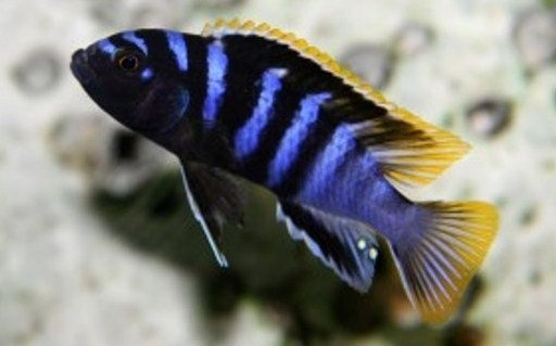 Labidochromis Mbamba Bay