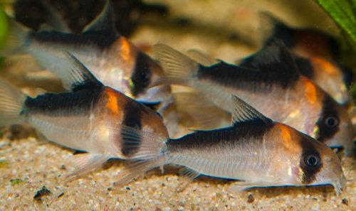 Corydoras Adolfoi L