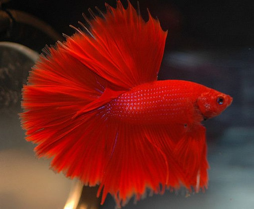 Betta Halfmoon Red XL
