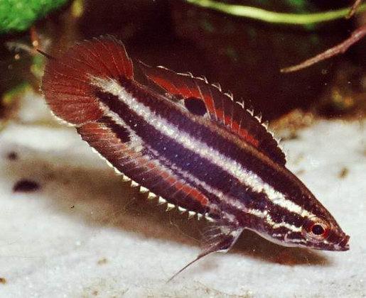 Parosphromenus Sumatranus