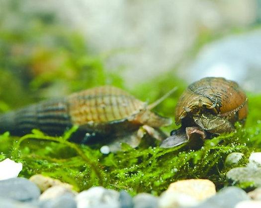Stenomelania Torulosa L