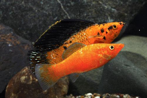 Poecilia Velifera Black Orange