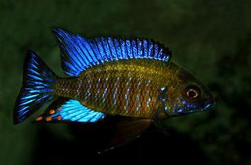 Aulonocara Ethelwynnae