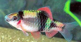 Barbus Fasciatus