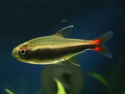 Hyphessobrycon Loretoensis