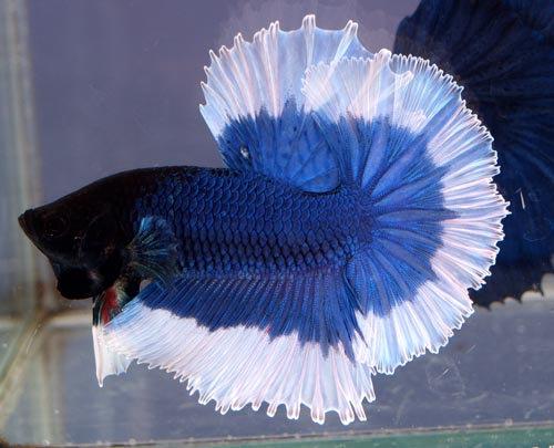 Betta Splendens G.Select Blue White