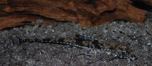 LDA52 Hemiloricaria sp.