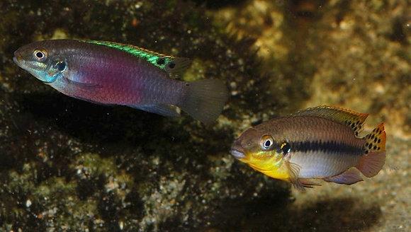Enigmatochromis Lacunesi F1