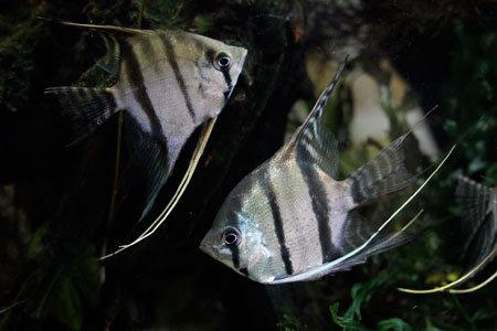 Pterophyllum Sp. Rio Xingu