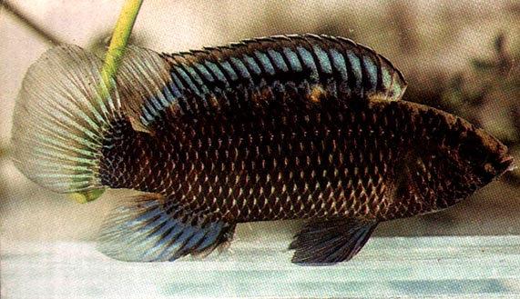 Badis Assamensis