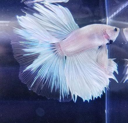 Betta Halfmoon White blue XL