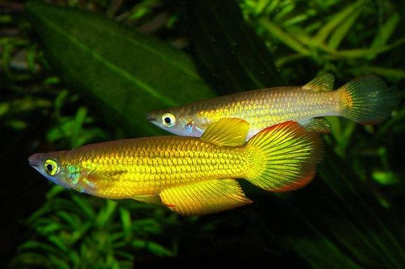 Aplocheilus Lineatus Gold XL