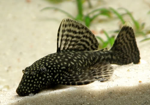 LDA72 Ancistrus Triradiatus