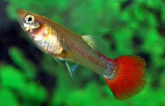 Poecilia Reticulata Tuxedo Red F