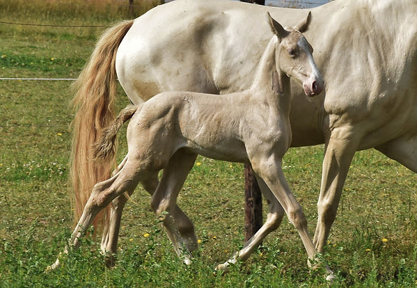 Qatar LP Lusitano colt born on 16/06/2020, out of June des Corbeaux and Luxor da Sernadinha