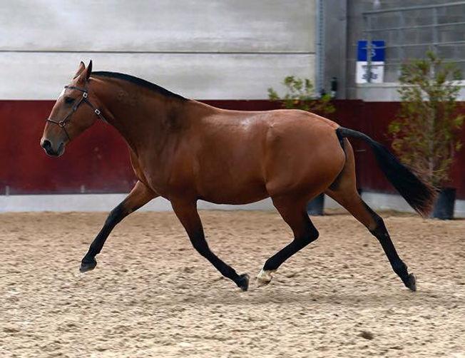 CAMURCA CSM Jument lusitanienne née le 10/03/2007, par Victoria et Spartacus (fer Luis Pidwell).Jument recommandée par l'APSL. Approuvée 82%. Multiple fois médaillée d'or. Championne des juments au Portugal et Championne des champions à Gesves en 2015 et 2016.