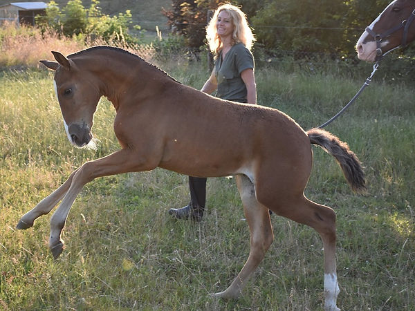 Prodigio LP Lusitano colt born on 17/05/2019, out of Vanille de Massa and Indigo LBA.