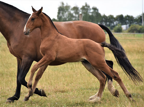 Quiem LP Lusitano colt born on 01/06/2020, out of Vanille de Massa and Jasmim Plus