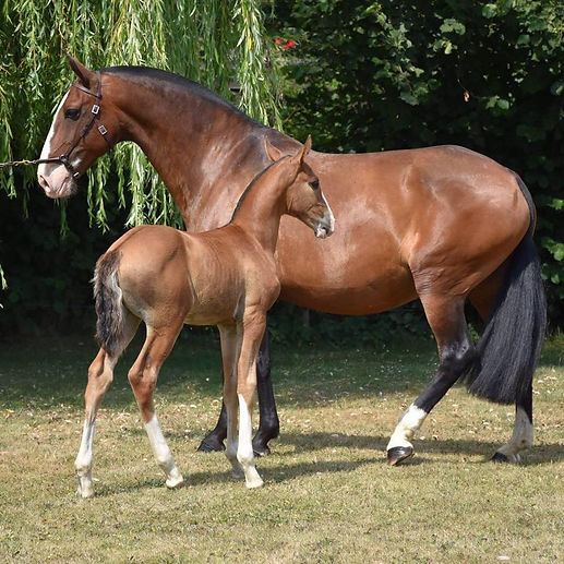 VANILLE DE MASSA Lusitano mare born on 01/04/2009, out of Ventania and Huno (Sylvain Massa). Recommanded mare by APSL. Graded  with 81%. Multpile gold medalist. Champion of champions in Belgium in 2011. Tested by Labogena Ee Aa.
