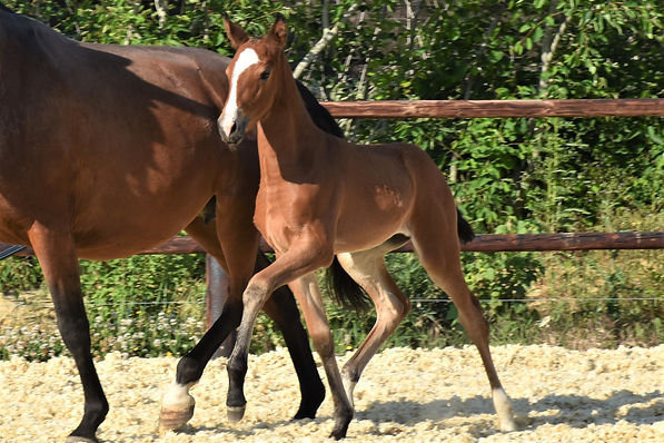 Quimeira LP Lusitano filly born on 26/04/2020, out of Camurça CSM and Escorial SB.