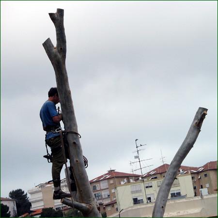 כריתת עץ בשלבים