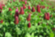 crimson clover pic 2.png
